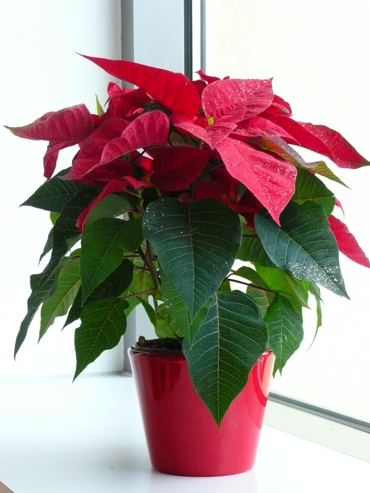 Een driesterrenplant: de kerstster