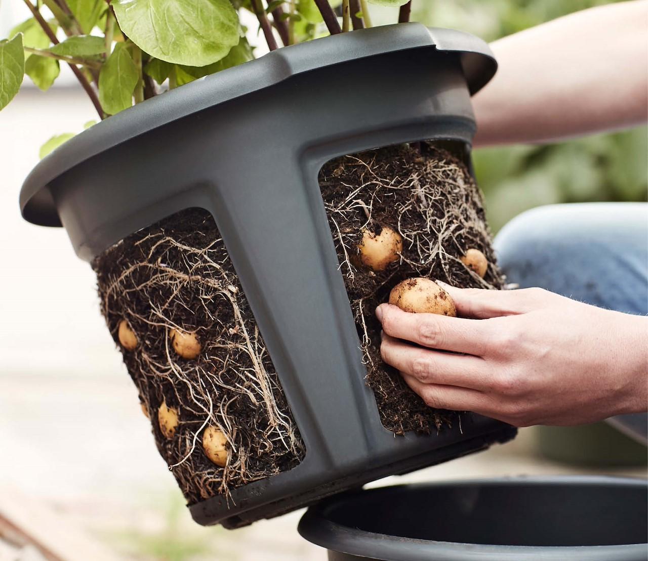 Je eigen aardappelen kweken: ook zonder tuin!