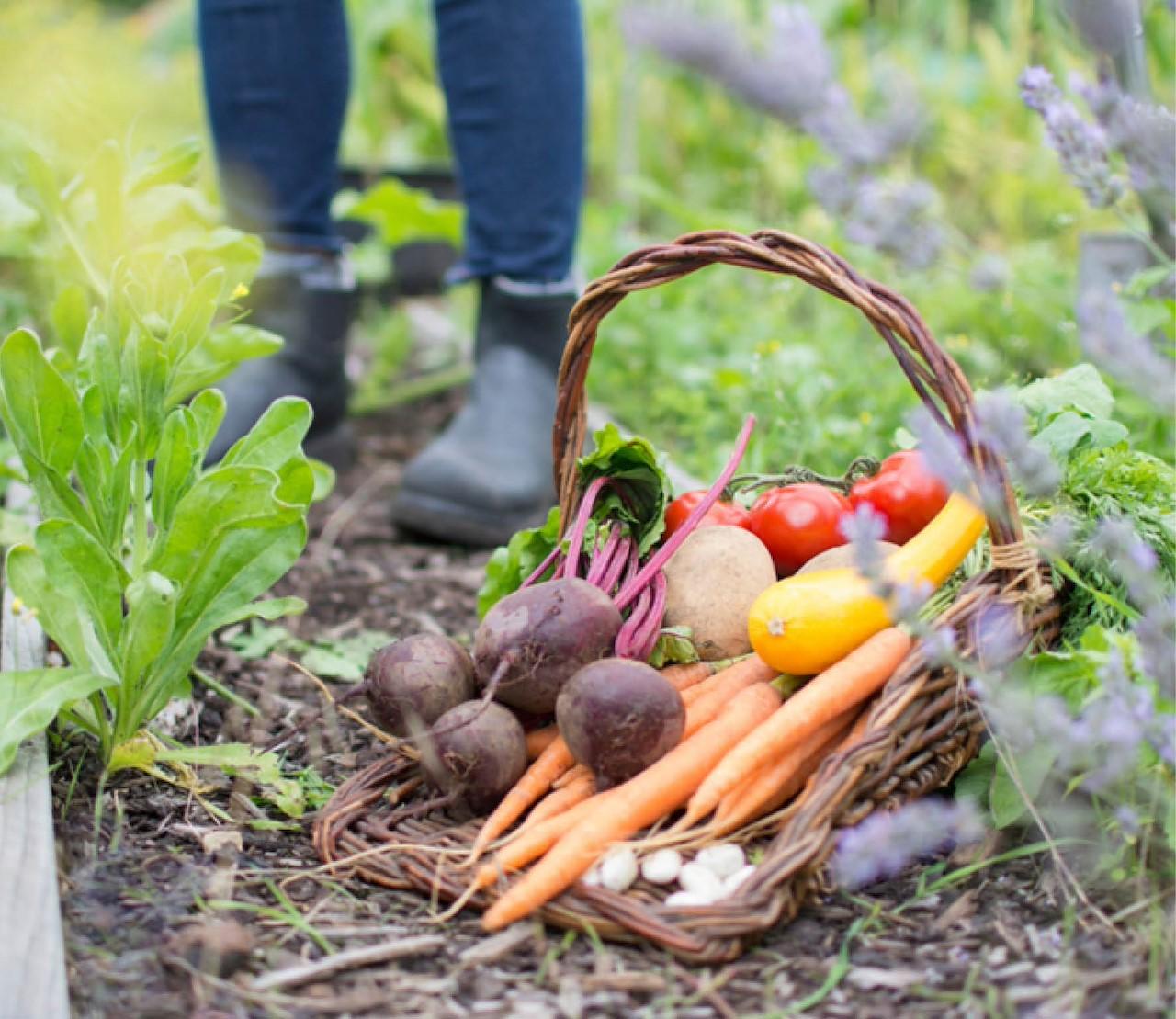 Moestuin augustus: volop oogsten, maar nog lang niet het einde