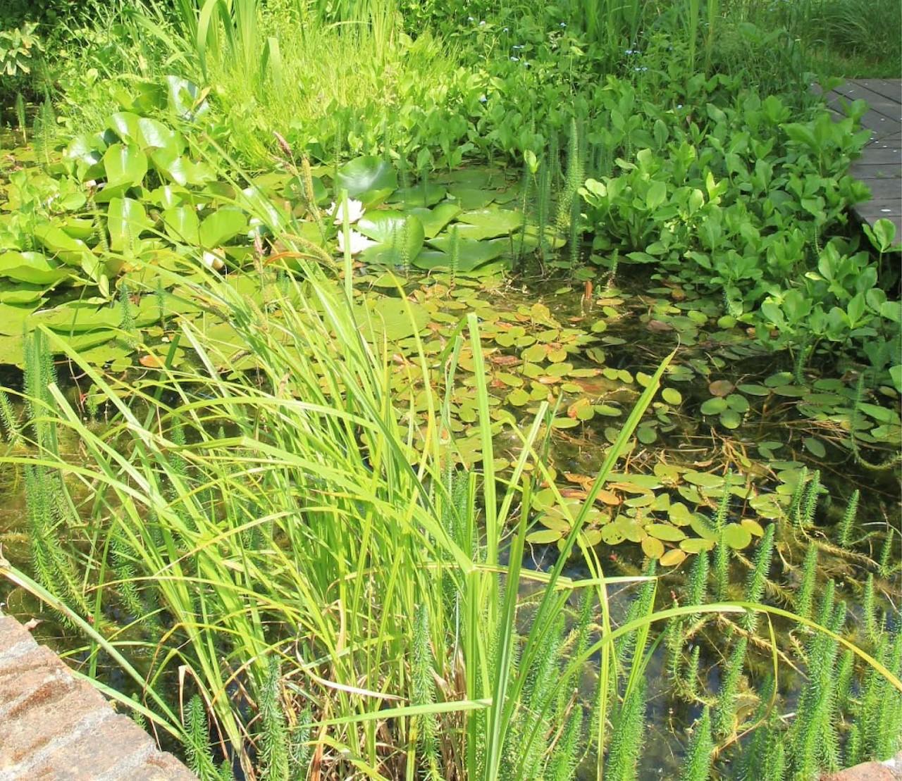 Waterplanten, onmisbaar in elke vijver