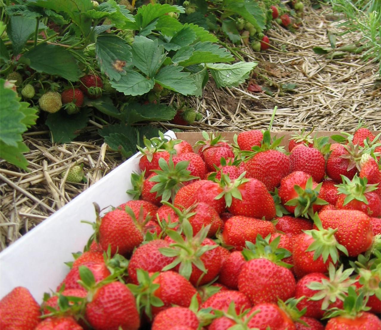 aardbeien: gezond snoepgoed uit de tuin