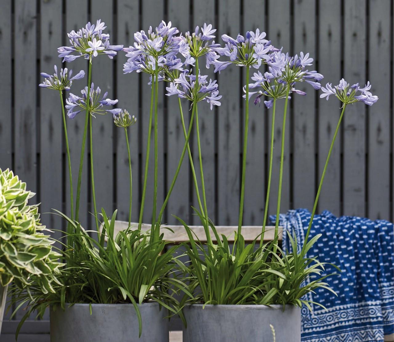 Agapanthus: zomertopper voor tuin en terras