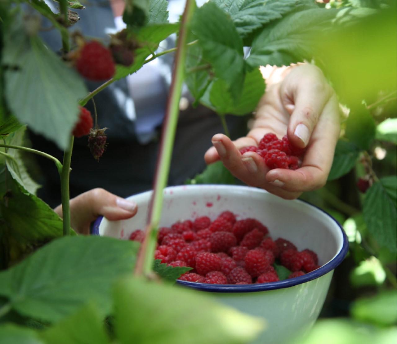 Bessen: fruit dat altijd lukt