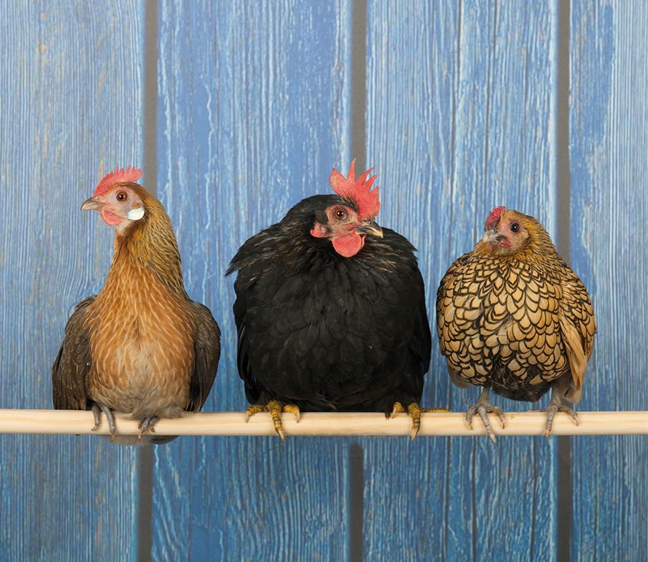 Bloedluizen bij kippen: wat doe je eraan?