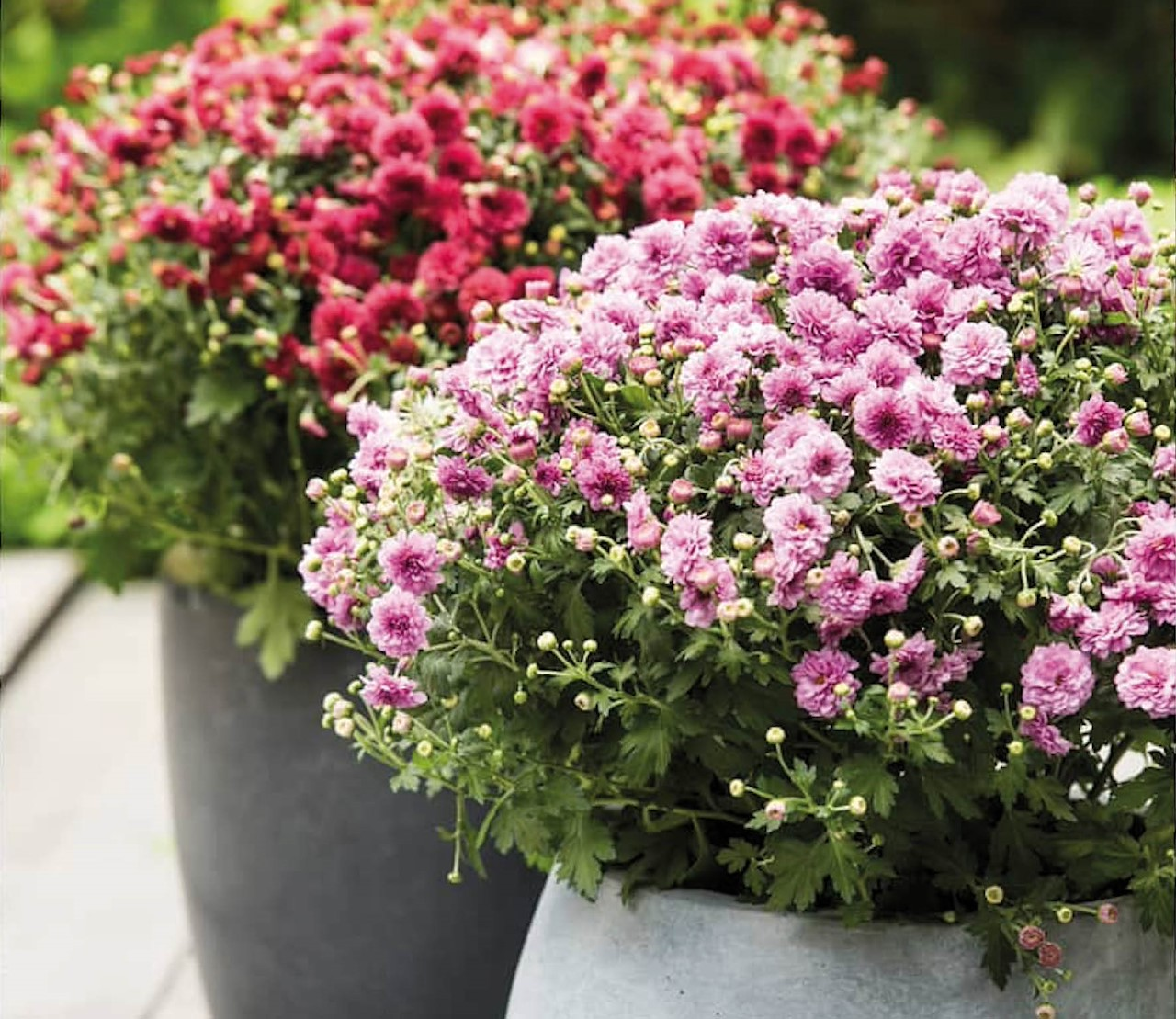 Bolchrysanten: ouderwets of helemaal hip?