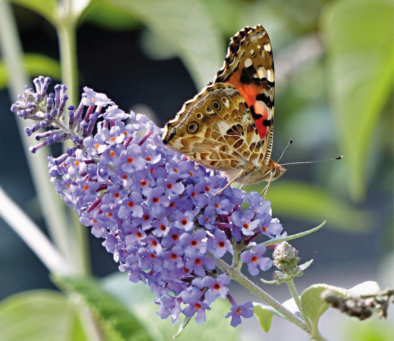 Meer vlinders? Plant een vlinderstruik.