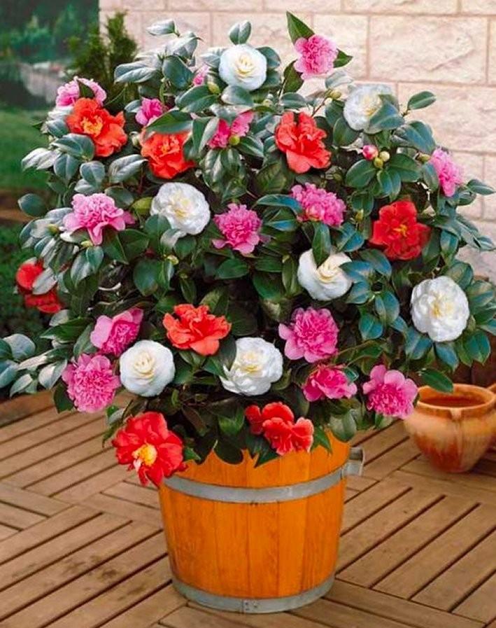 Camellia: recht uit een sprookje