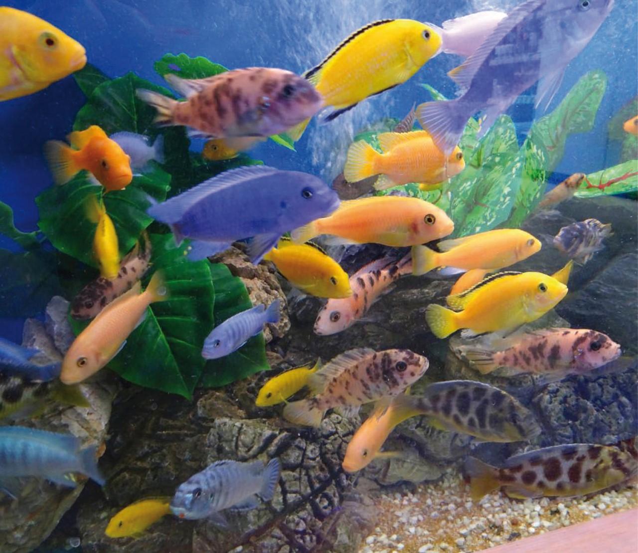 Hoe start ik een cichliden aquarium op?