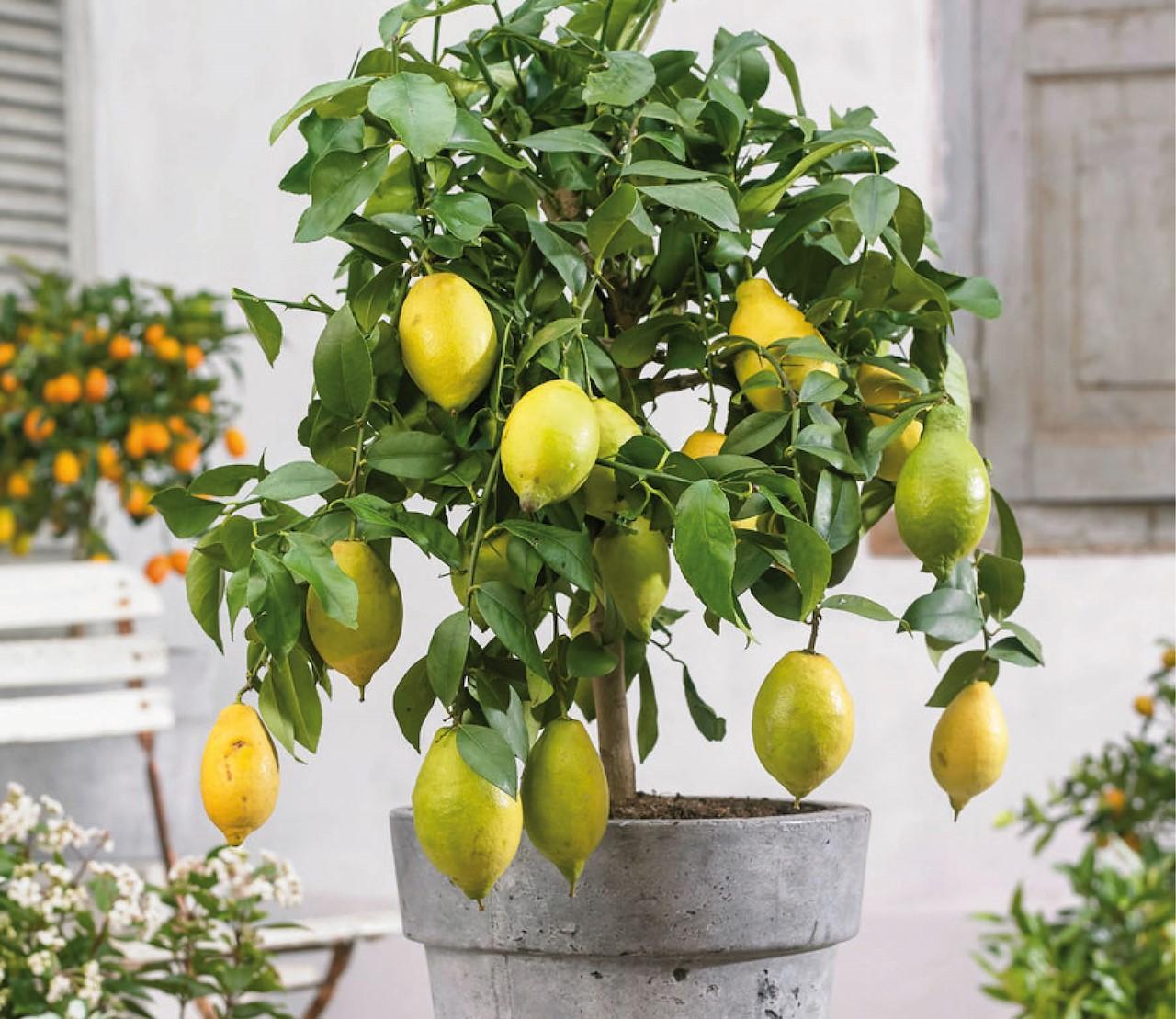 Zo kweek je je eigen citroenen