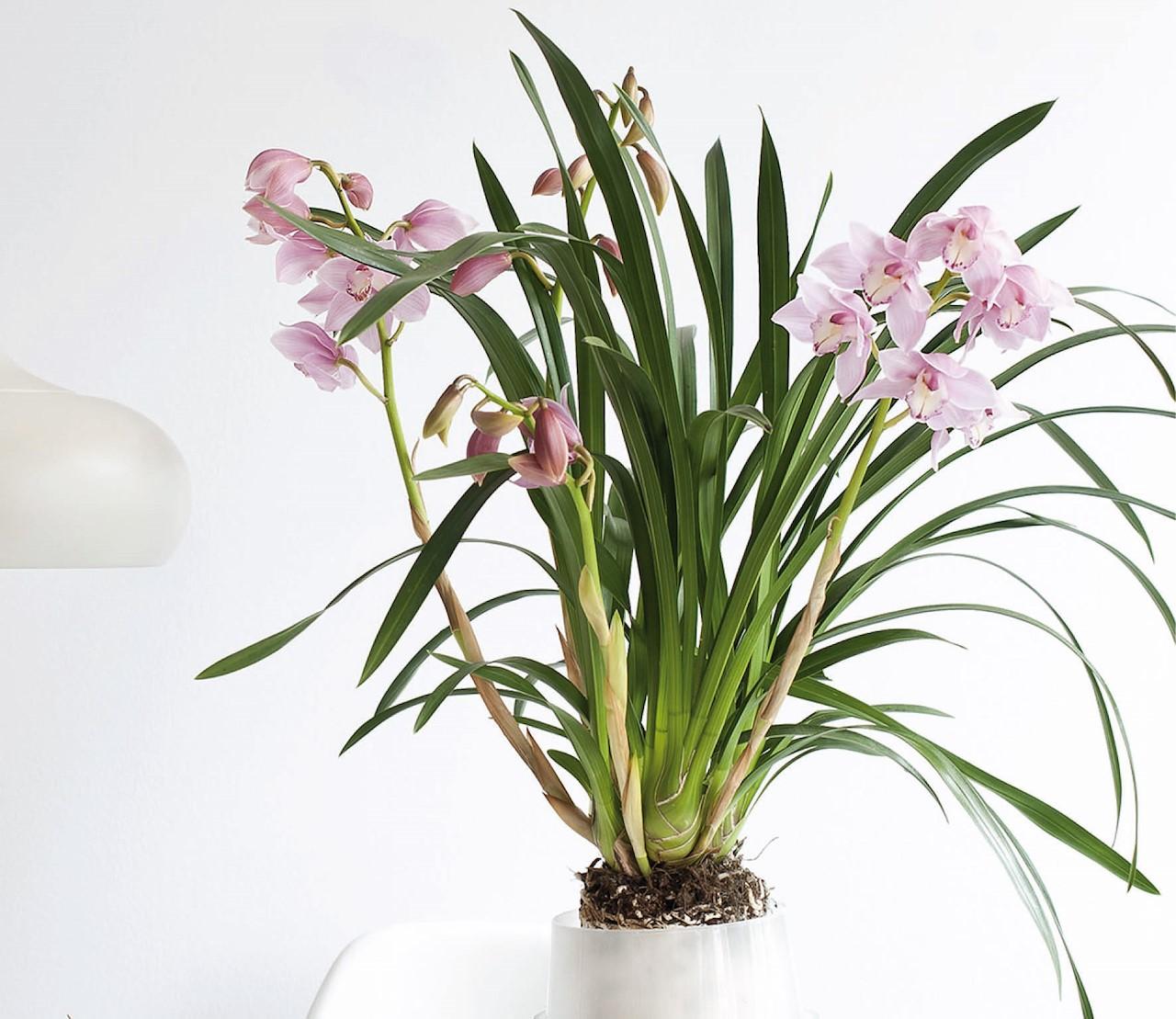 Cymbidium, de 'Koning der Orchideeën'