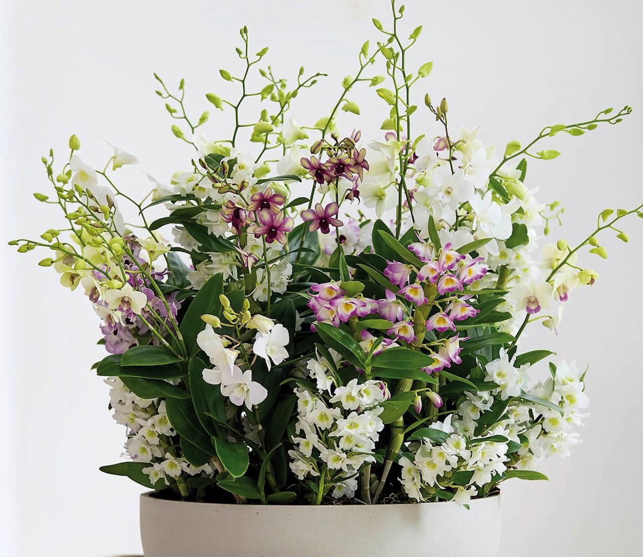 Dendrobium, de bamboe-orchidee