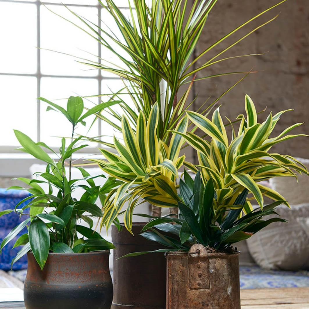 Dracaena brengt jungle-vibes in huis