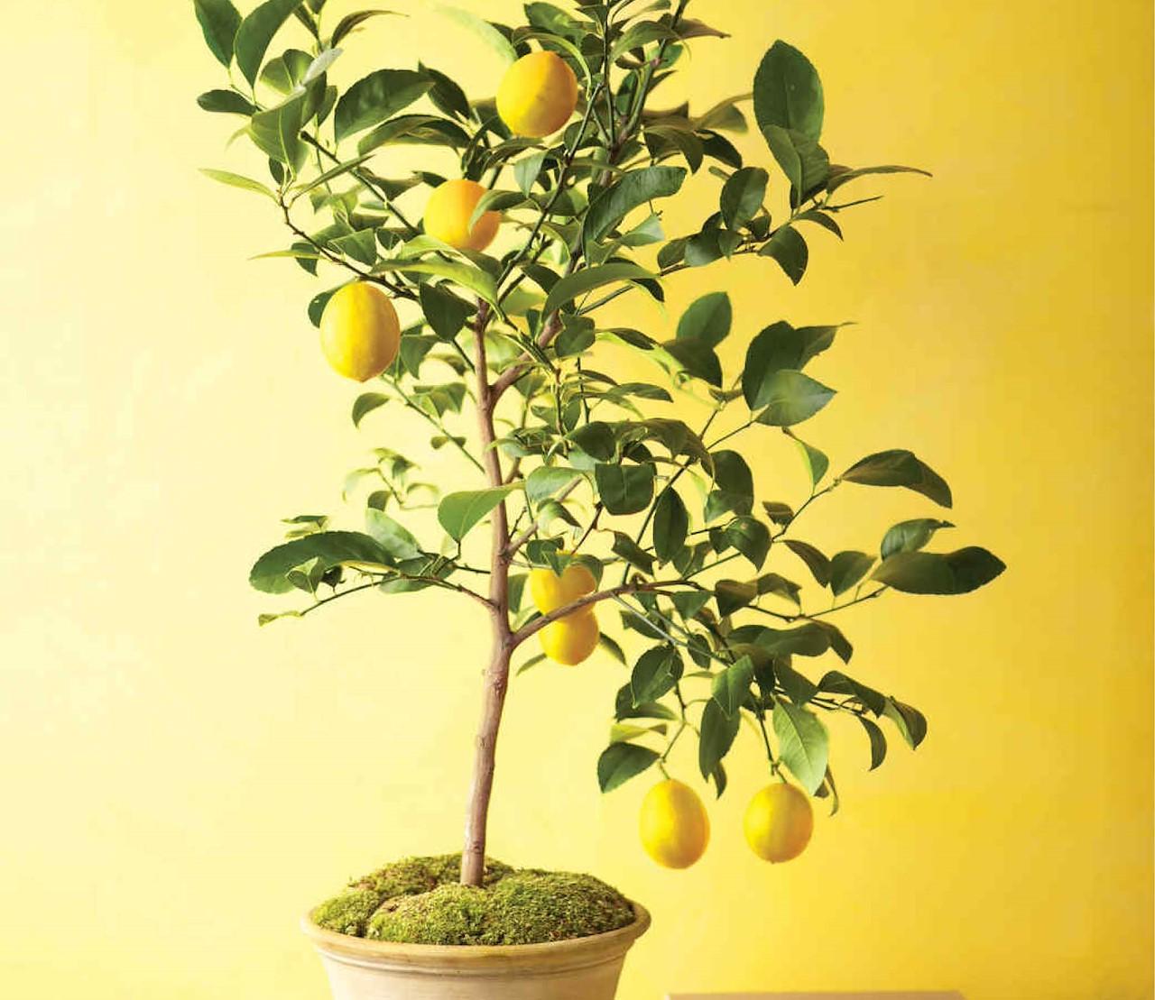 5 sfeervolle fruitbomen voor binnen