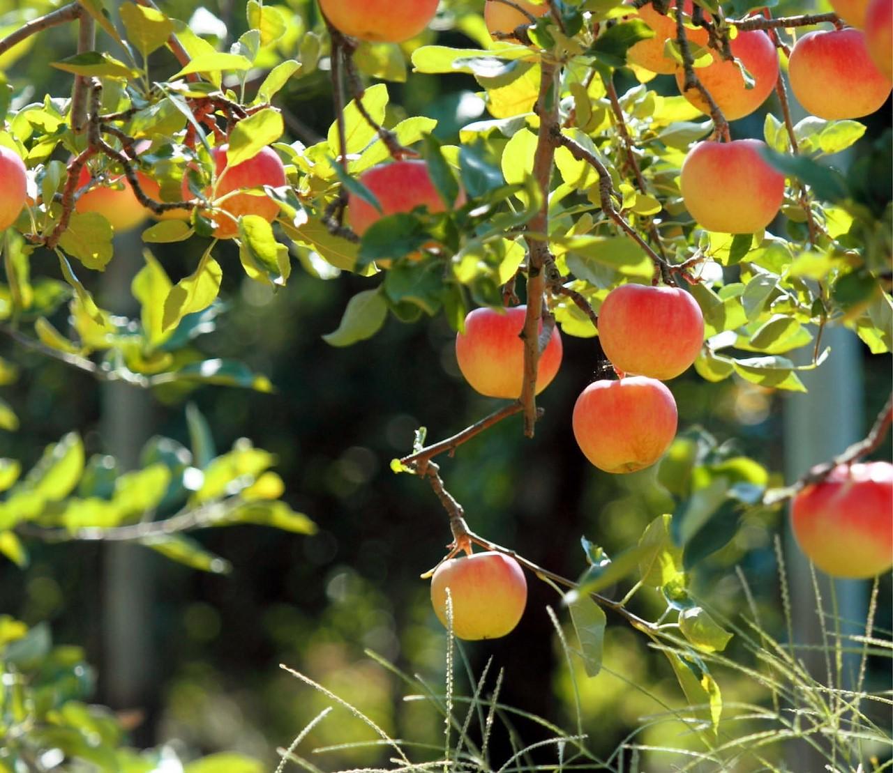 Elke tuin een fruitboom(pje)