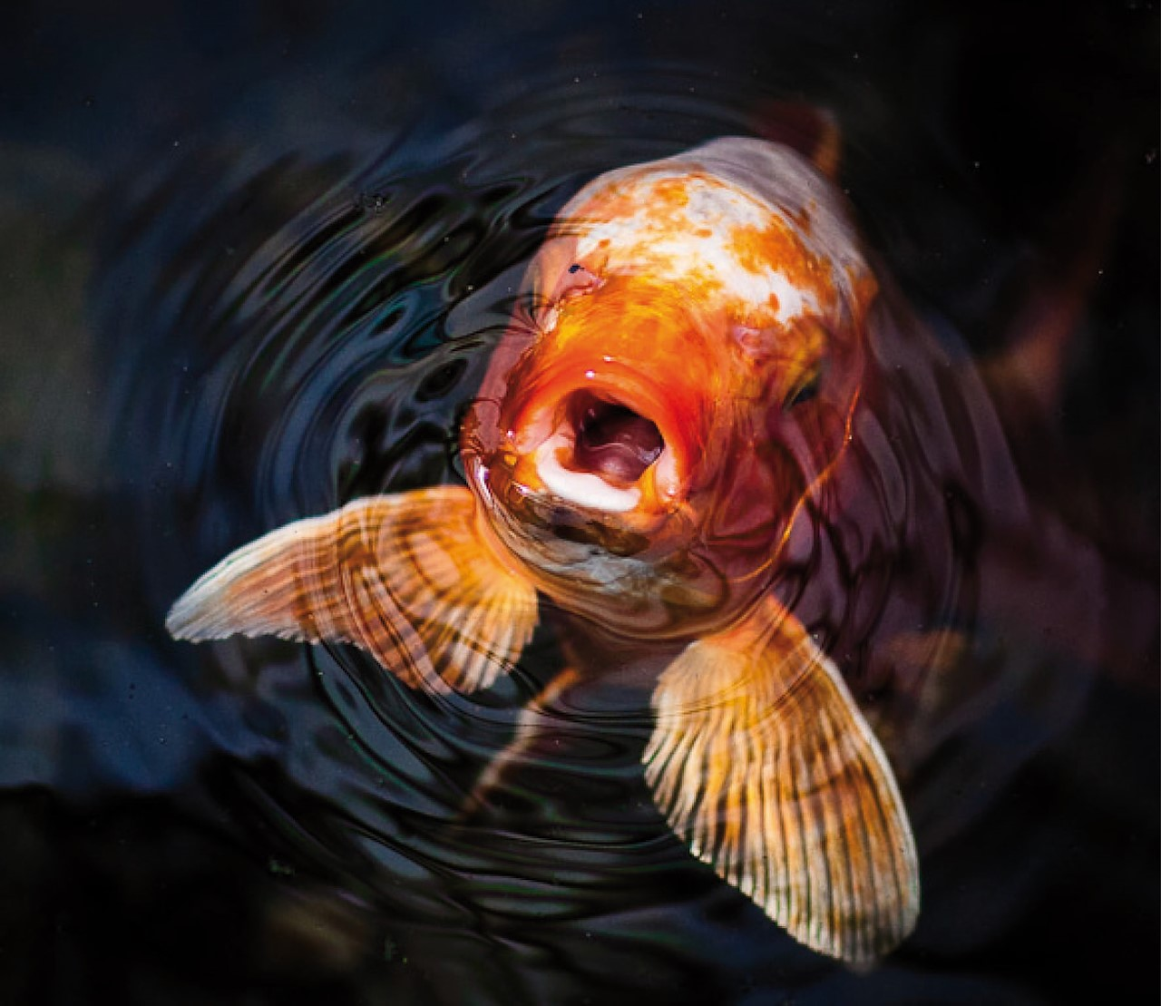 Waarom happen mijn vissen naar lucht?
