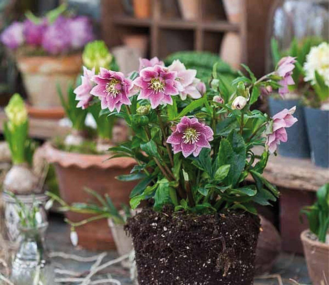 Helleborus: bloemen van kerst tot de lente