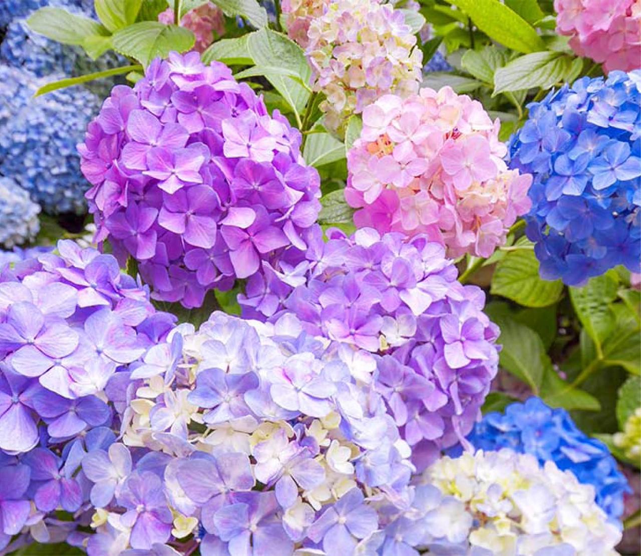 Hortensia's: echte bloemenbommen!