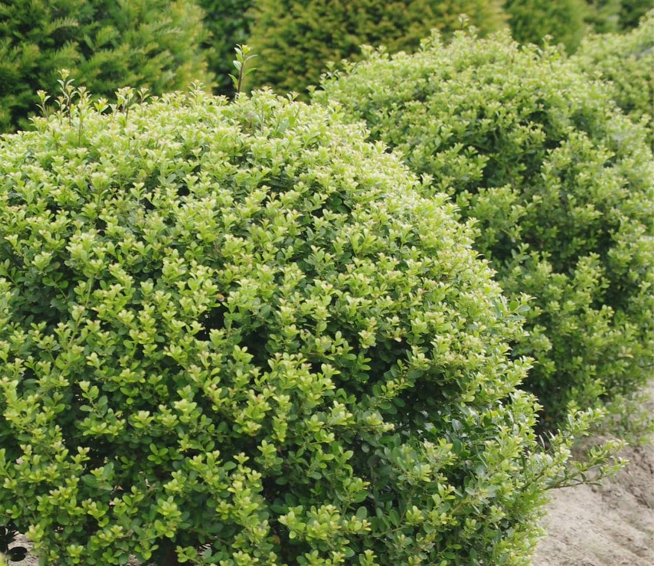 Ilex crenata: de perfecte buxus-vervanger