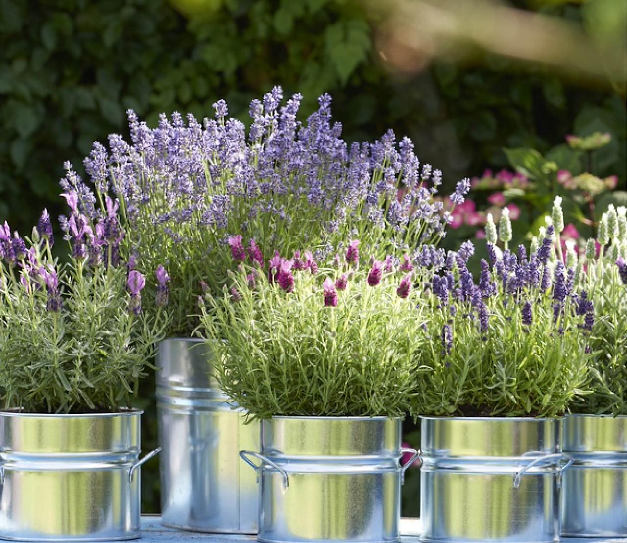 Zo houd je je lavendel in vorm