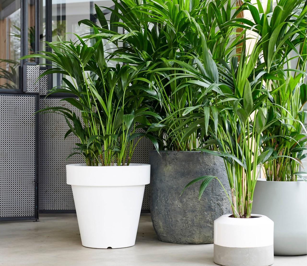 Kentiapalmen, groene charmeurs in huis