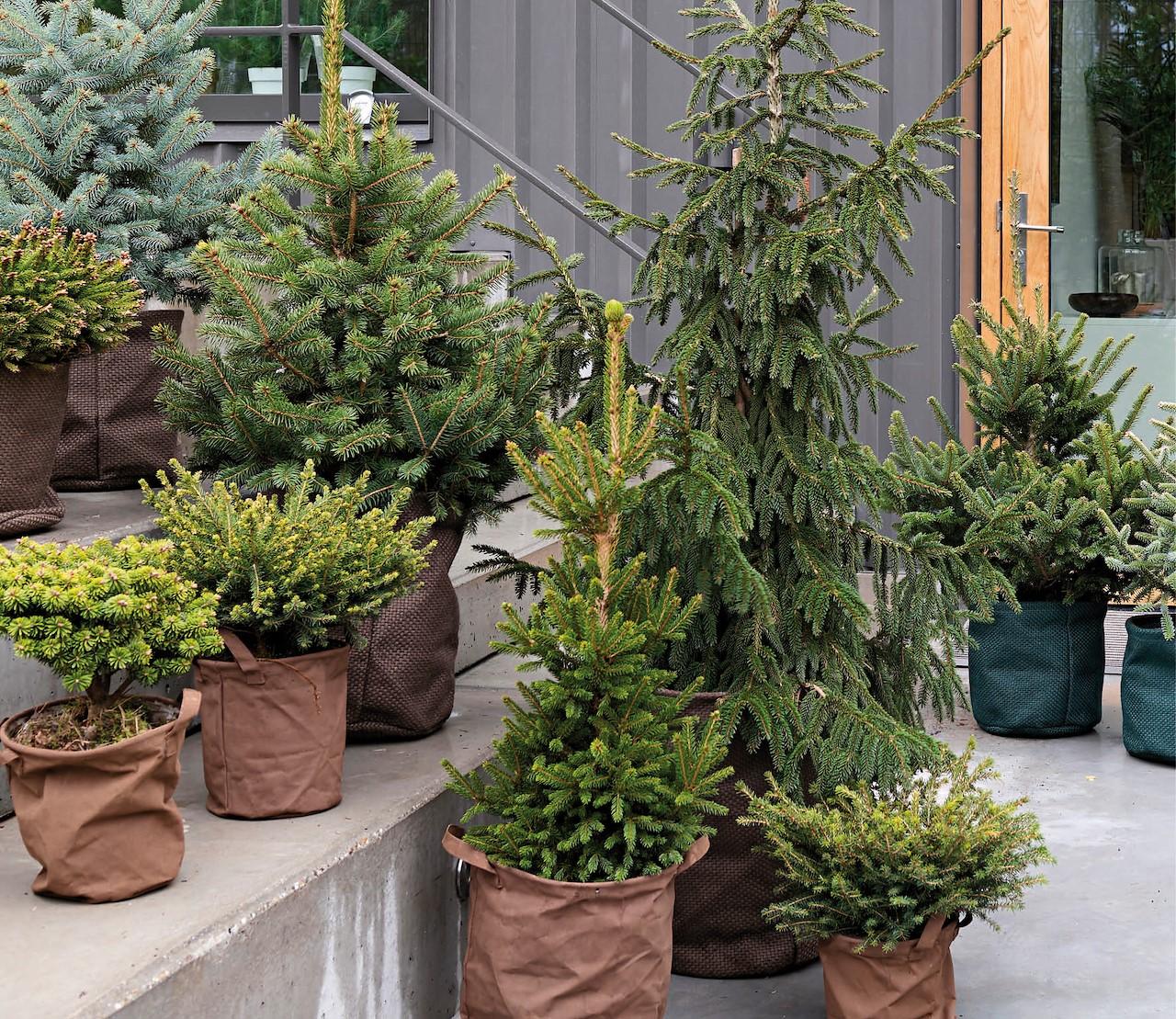 Meer dan een kerstboom: sparren, het hele jaar door