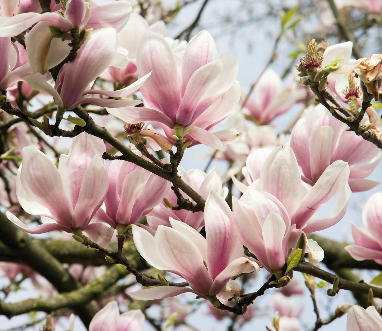 De allermooiste magnolia's voor de tuin