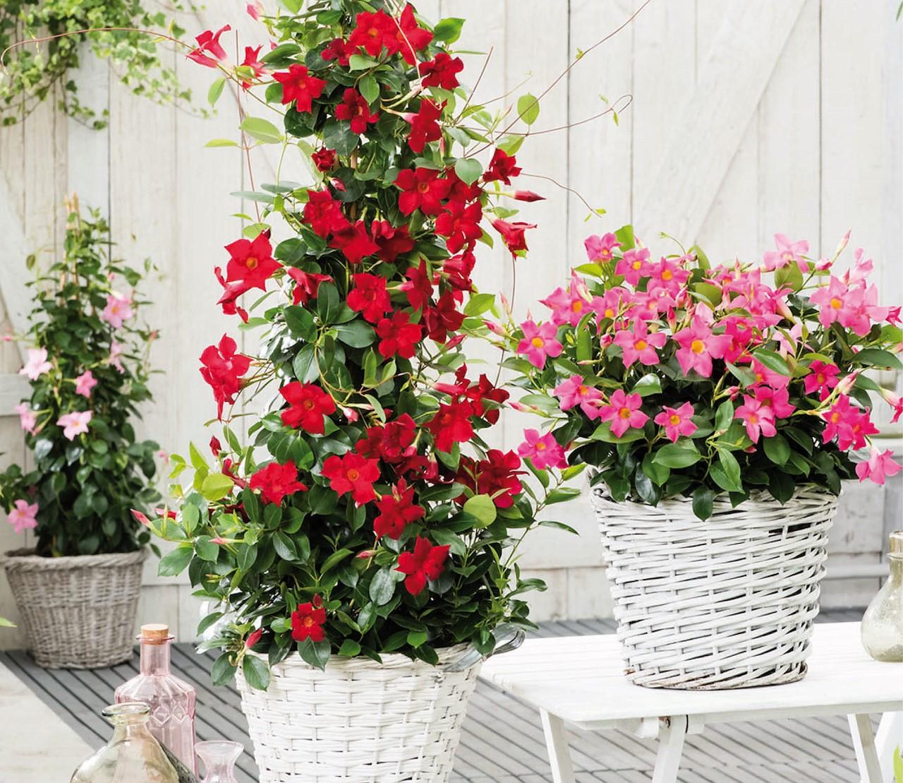 Maandenlang majestueuze bloemen met Mandevilla