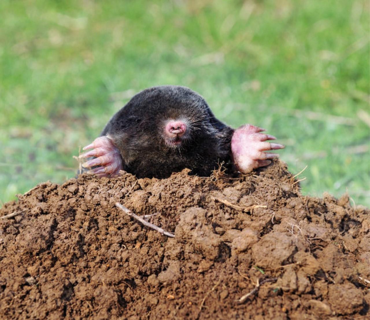 Ik heb een mol in mijn tuin! Hoe kom ik er van af?