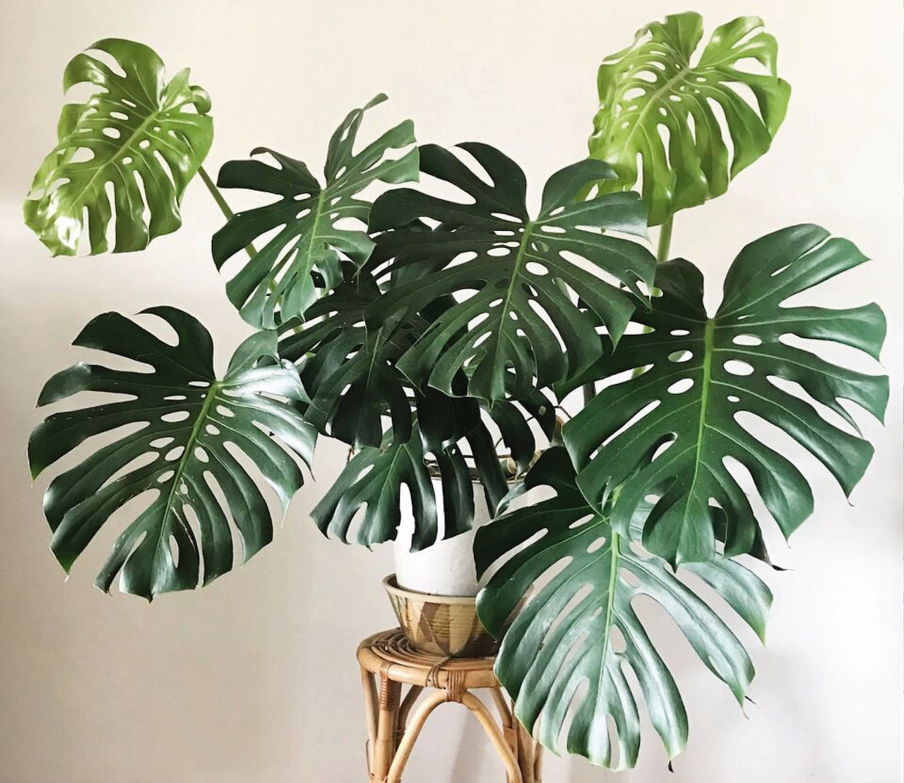 Monstera, de hippe gatenplant
