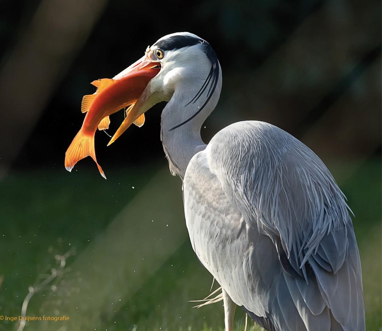 Bescherm je vissen tegen reigers