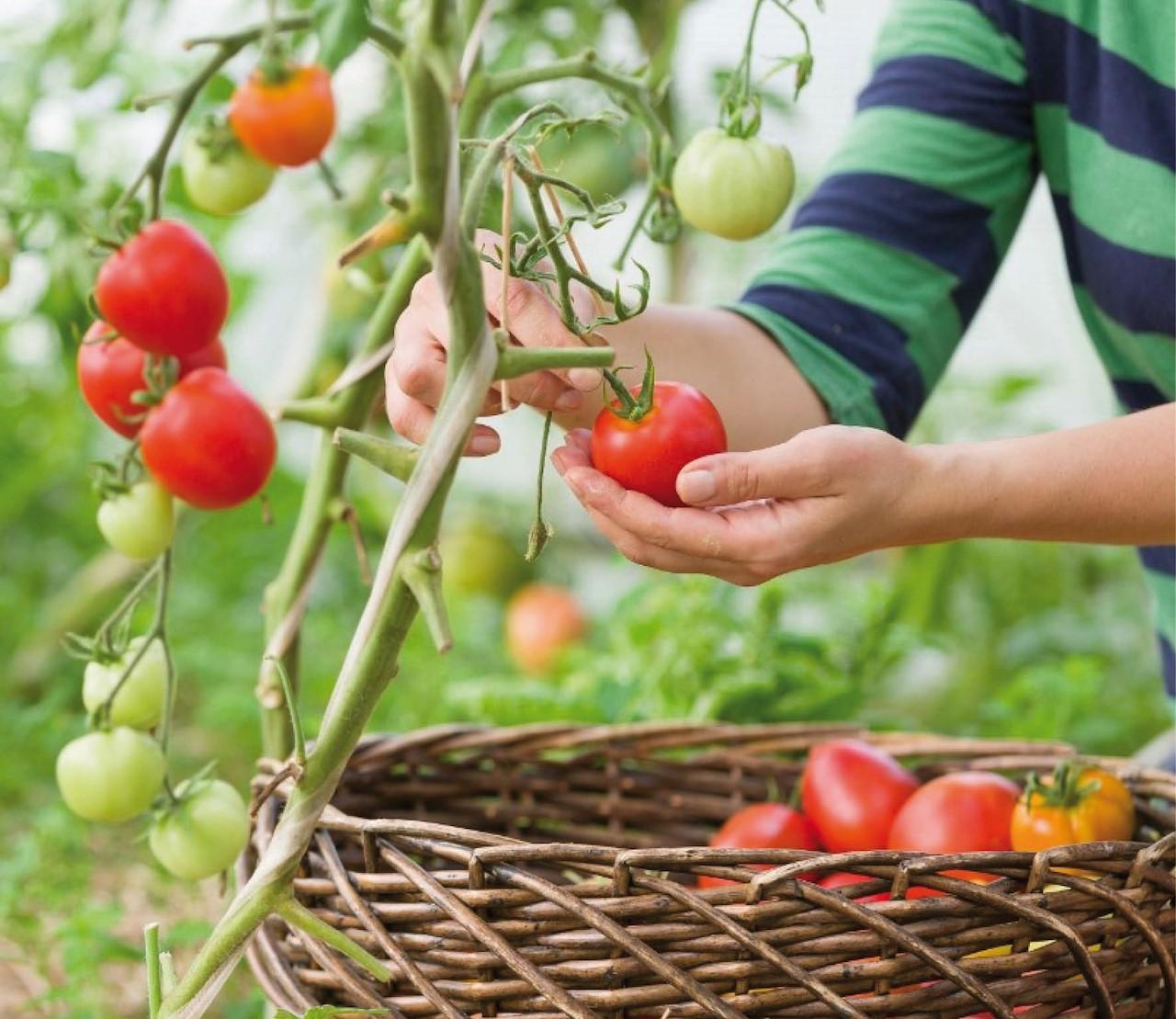 Zelf tomaten kweken, stap voor stap