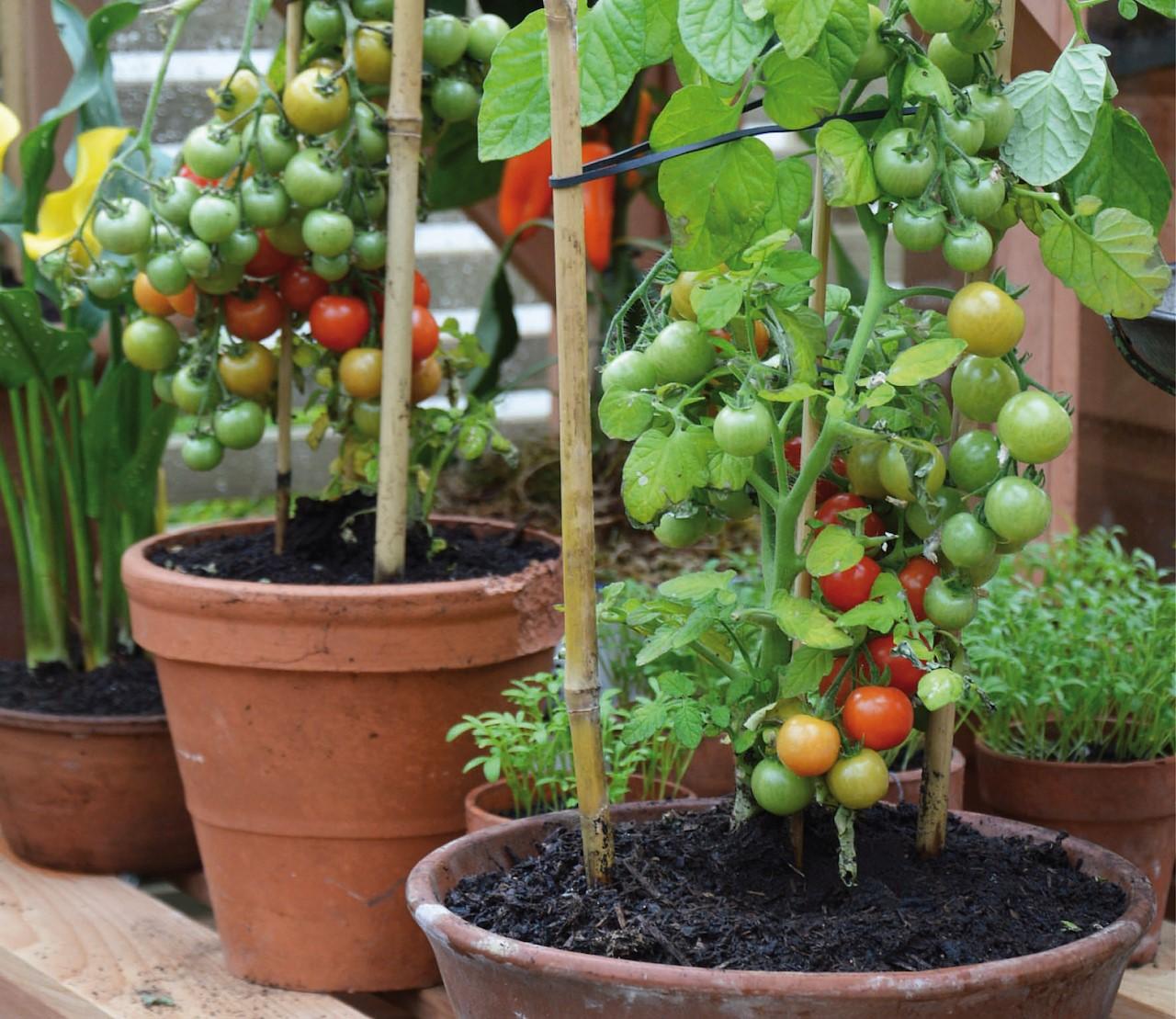 Zo kweek je tomaten in een pot.