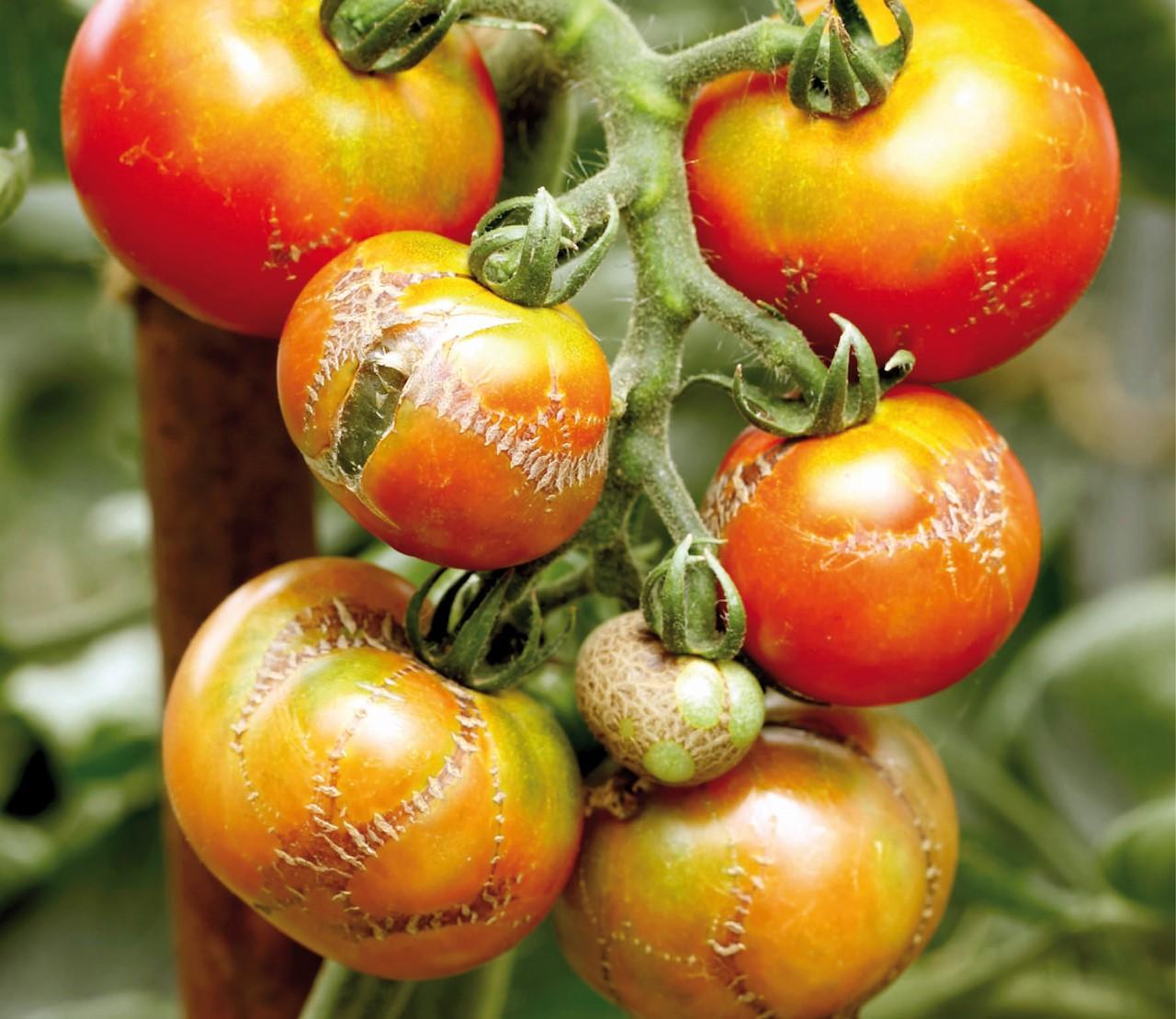 Tomatenproblemen oplossen en voorkomen