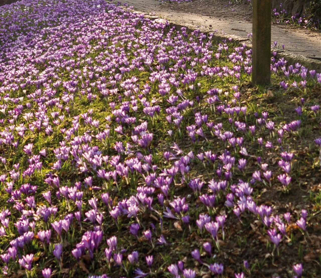 Een bloemenzee met verwilderingsbollen