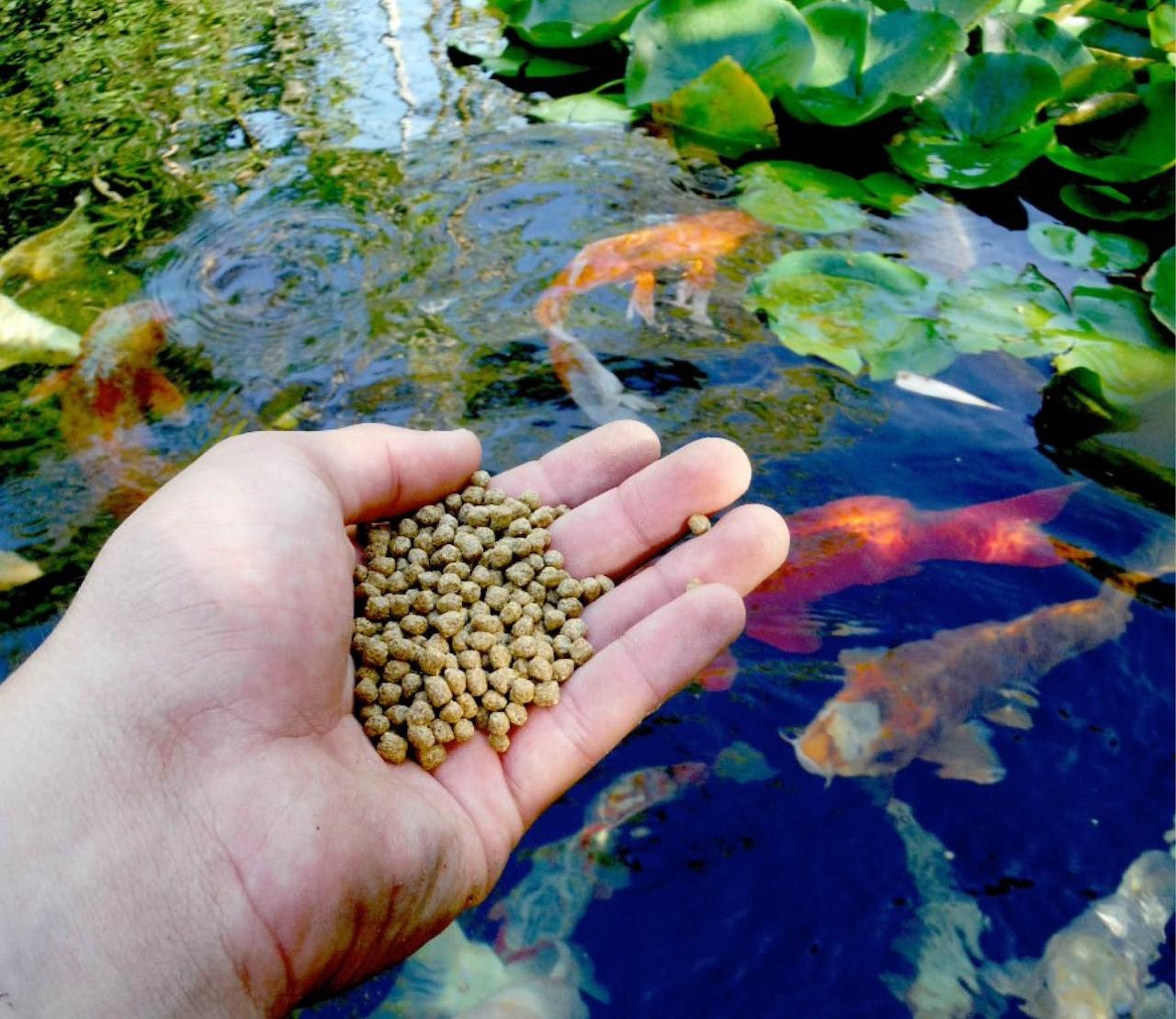 Vijvervissen voeren: waarom, hoe, wat & wanneer (niet)
