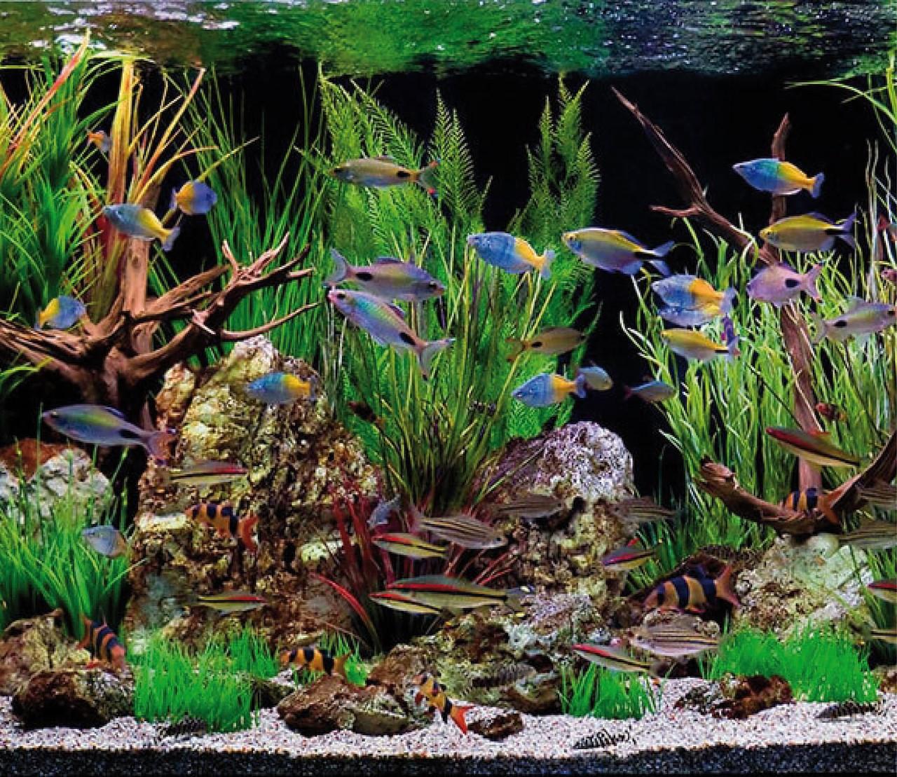 Welke vissen kunnen samen in een aquarium?