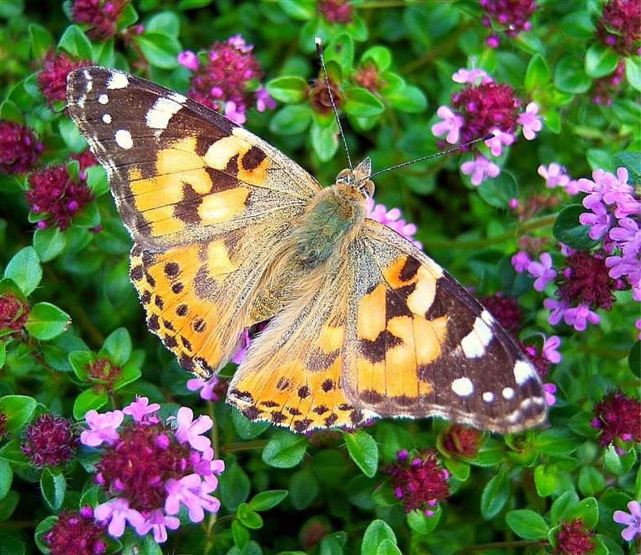 Zo krijg je nog meer vlinders in je tuin