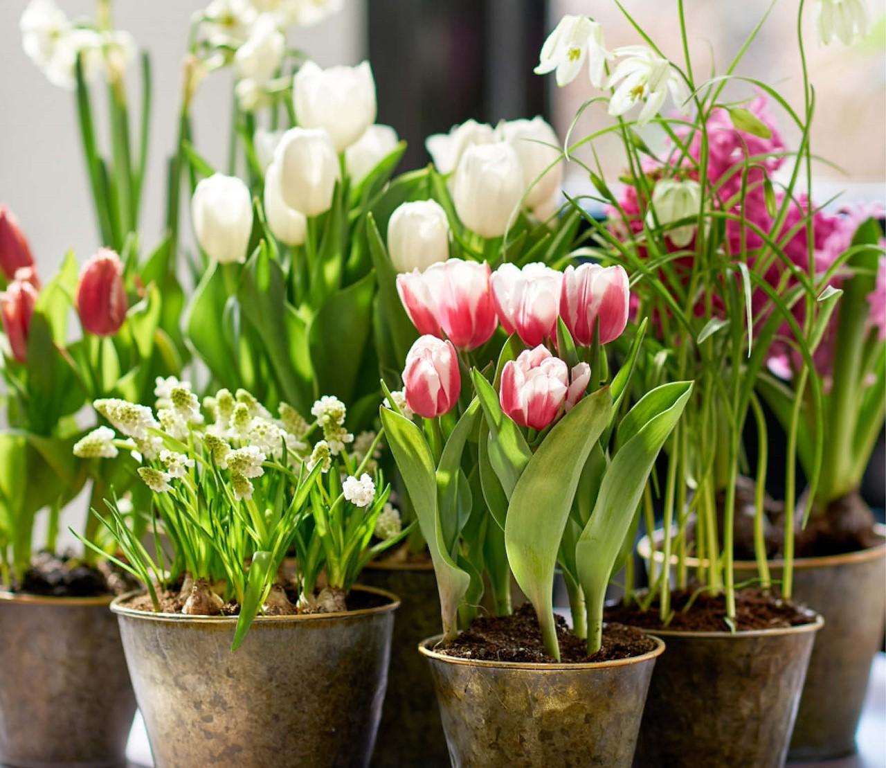 Bollen-op-pot brengen de lente