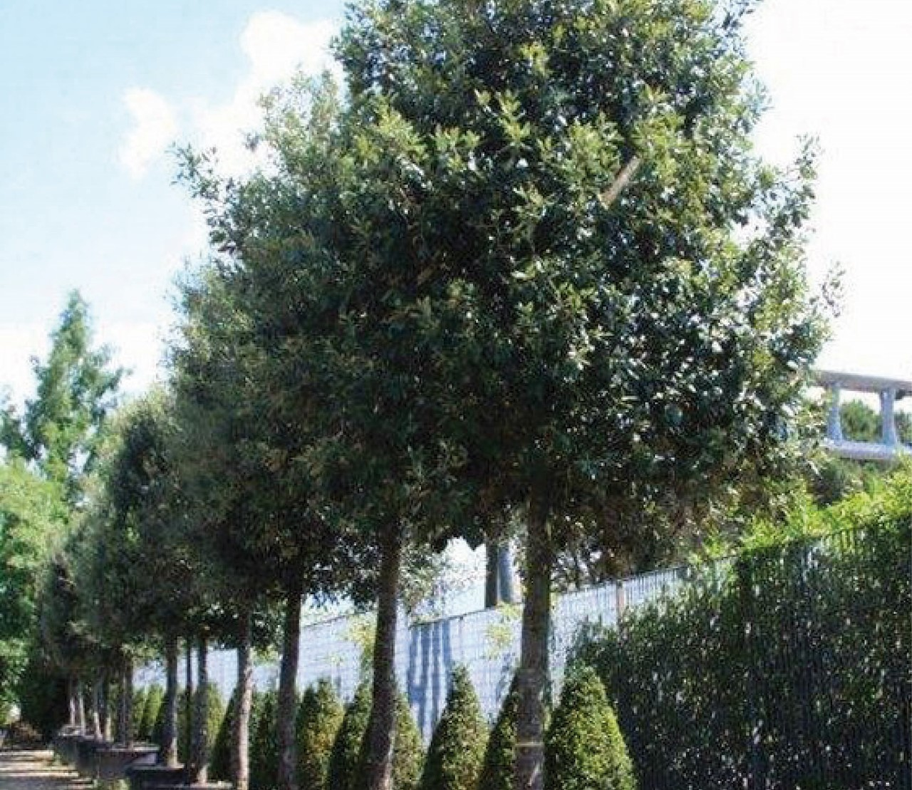 Bomen die altijd groen blijven