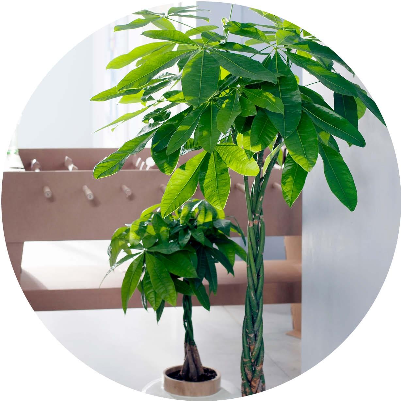 Bedwelming 5 onverwoestbare woonplanten - Tuincentrum Pelckmans &VC57