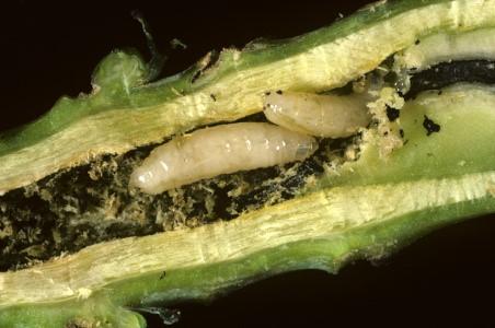 Aaltjes tegen schadelijke bodeminsecten