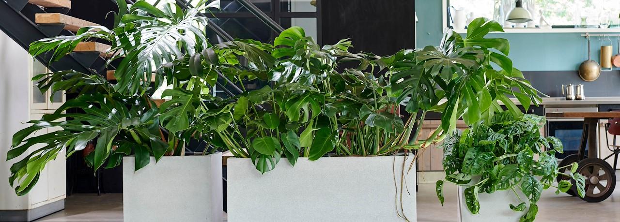 Weinig Licht Deze Kamerplanten Houden Van Donker Tuincentrum Pelckmans