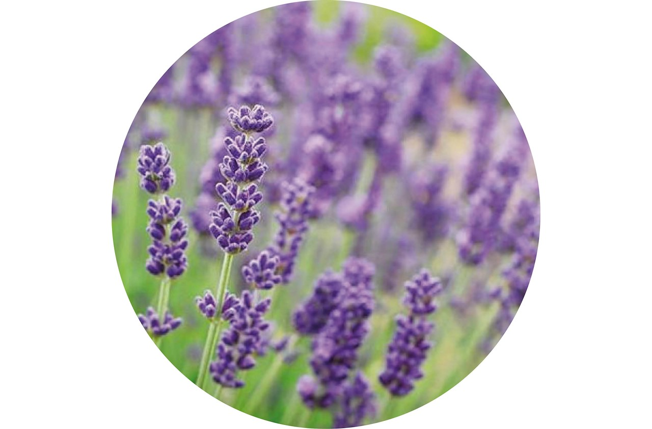 lavendel heeft een heerlijke geur die muggen weghoudt zet een pot met lavendel bij je raam in de slaapkamer en het plantje zal zowel de muggen weghouden