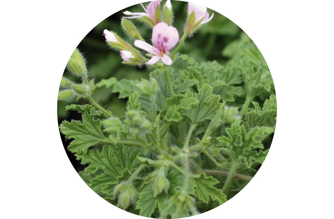 geraniums hebben prachtige bloemen en zijn een uitstekende keuze om insecten weg te houden een paar op de vensterbank van je slaapkamer en gedaan met
