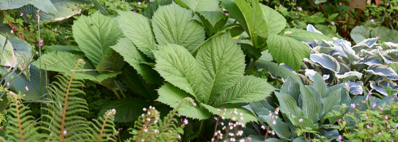 Nieuw Schaduw lastig? Niet voor deze planten! - Tuincentrum Pelckmans XH-36