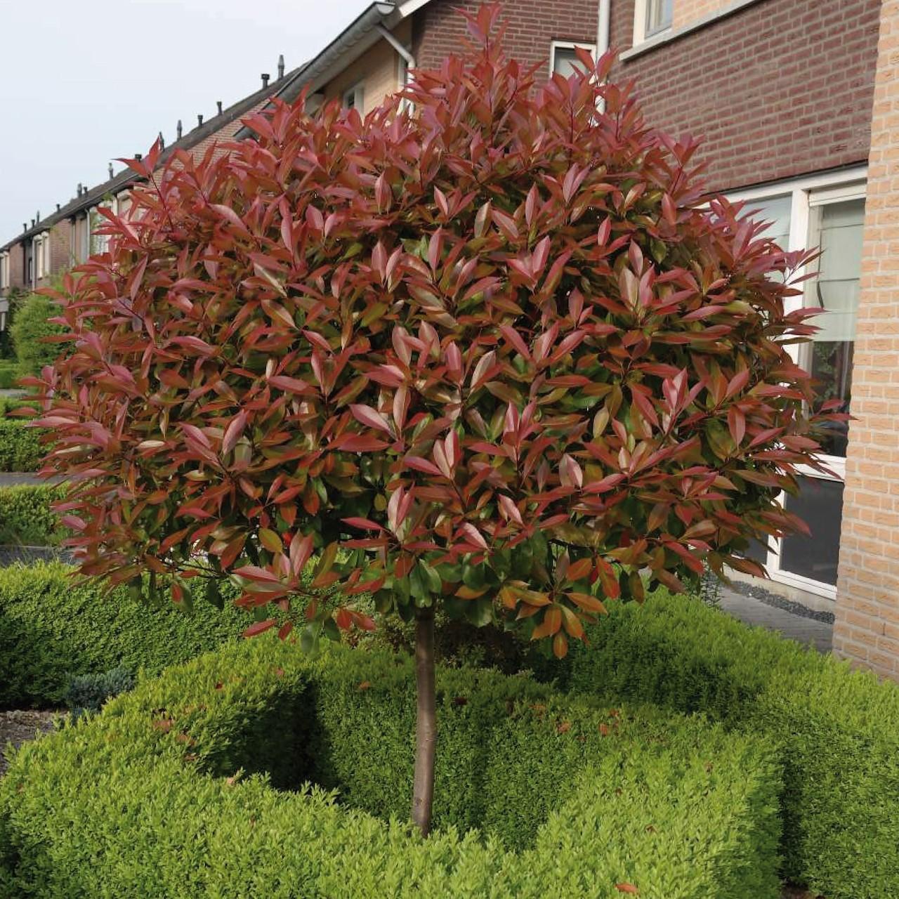 Wonderbaarlijk Bomen die altijd groen blijven - Tuincentrum Pelckmans XU-54