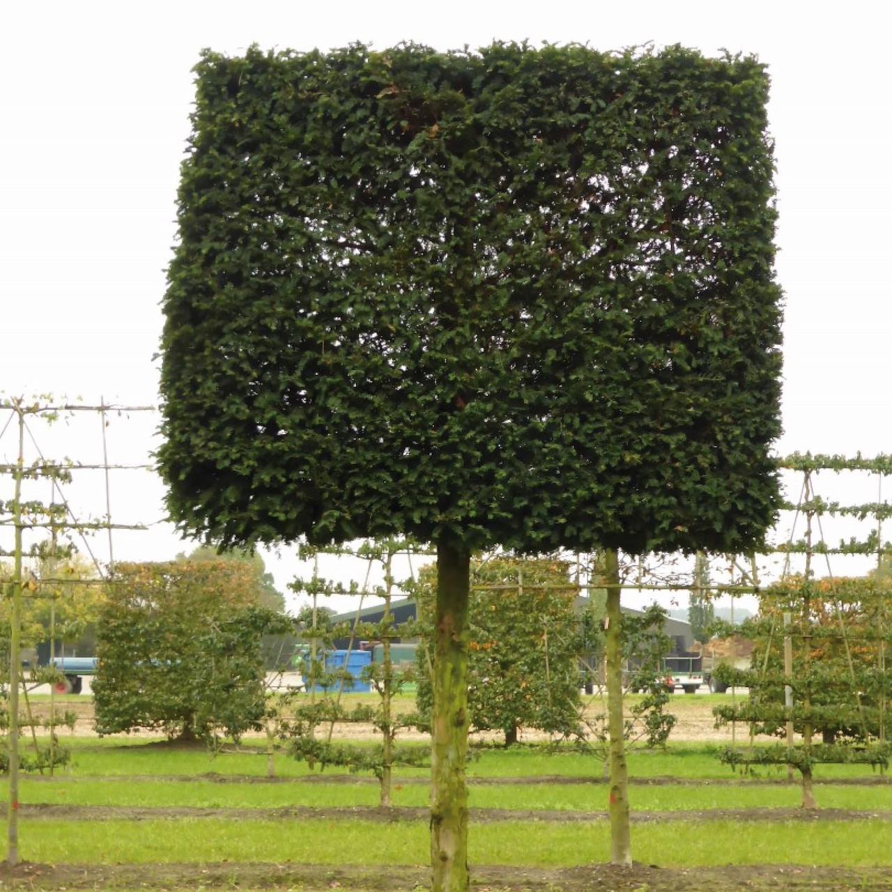 Wonderbaar Bomen die altijd groen blijven - Tuincentrum Pelckmans ZL-14