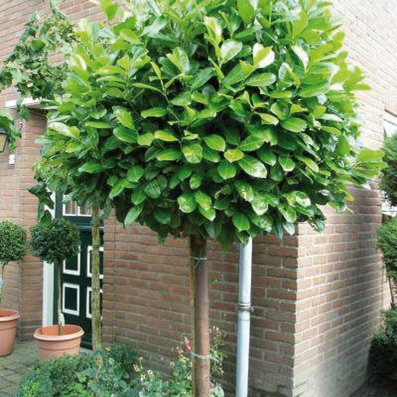 Welp Bomen die altijd groen blijven - Tuincentrum Pelckmans OW-95
