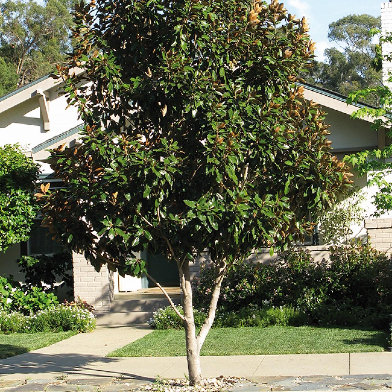 Welp Bomen die altijd groen blijven - Tuincentrum Pelckmans VN-96