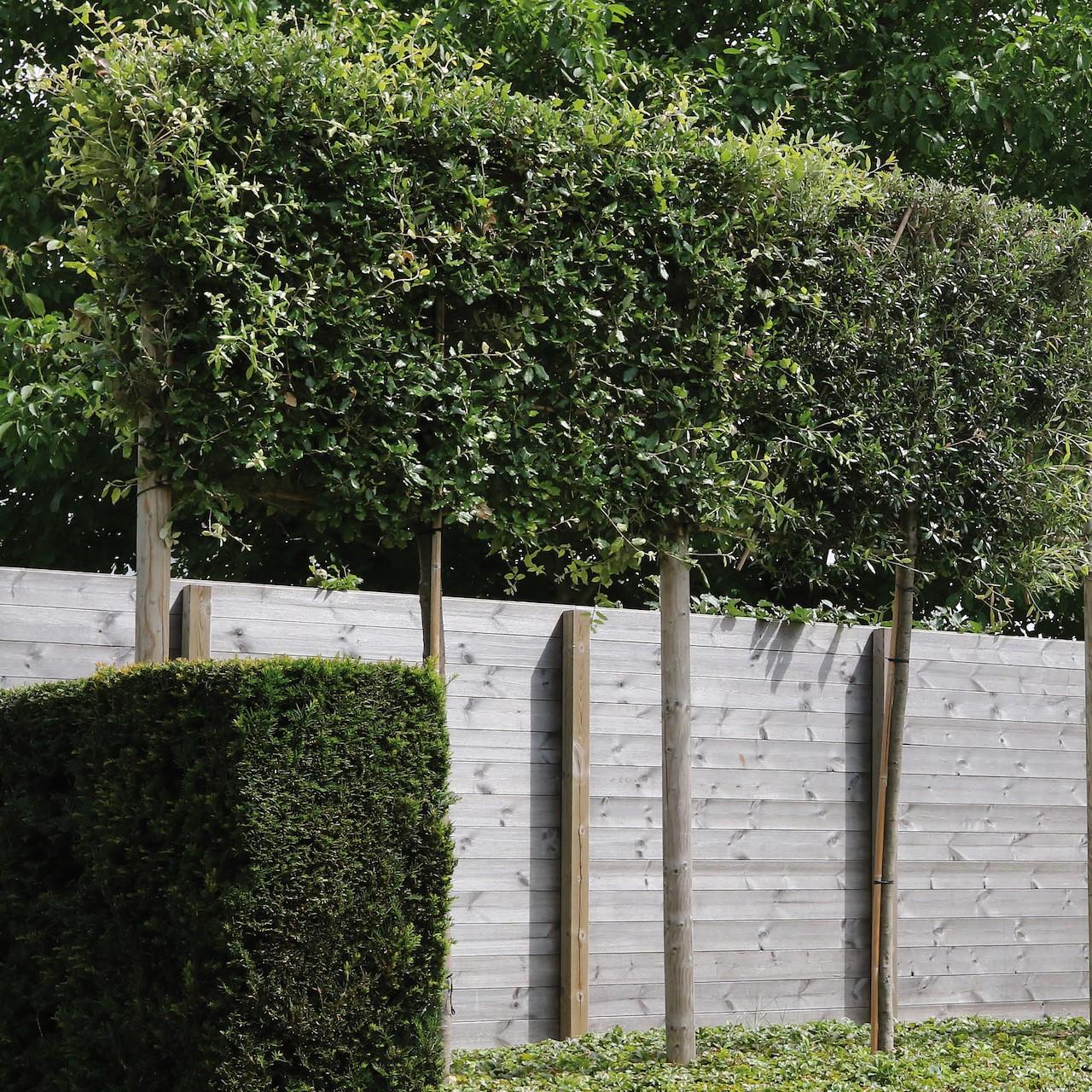 Boom In Pot Buiten.Bomen Die Altijd Groen Blijven Tuincentrum Pelckmans
